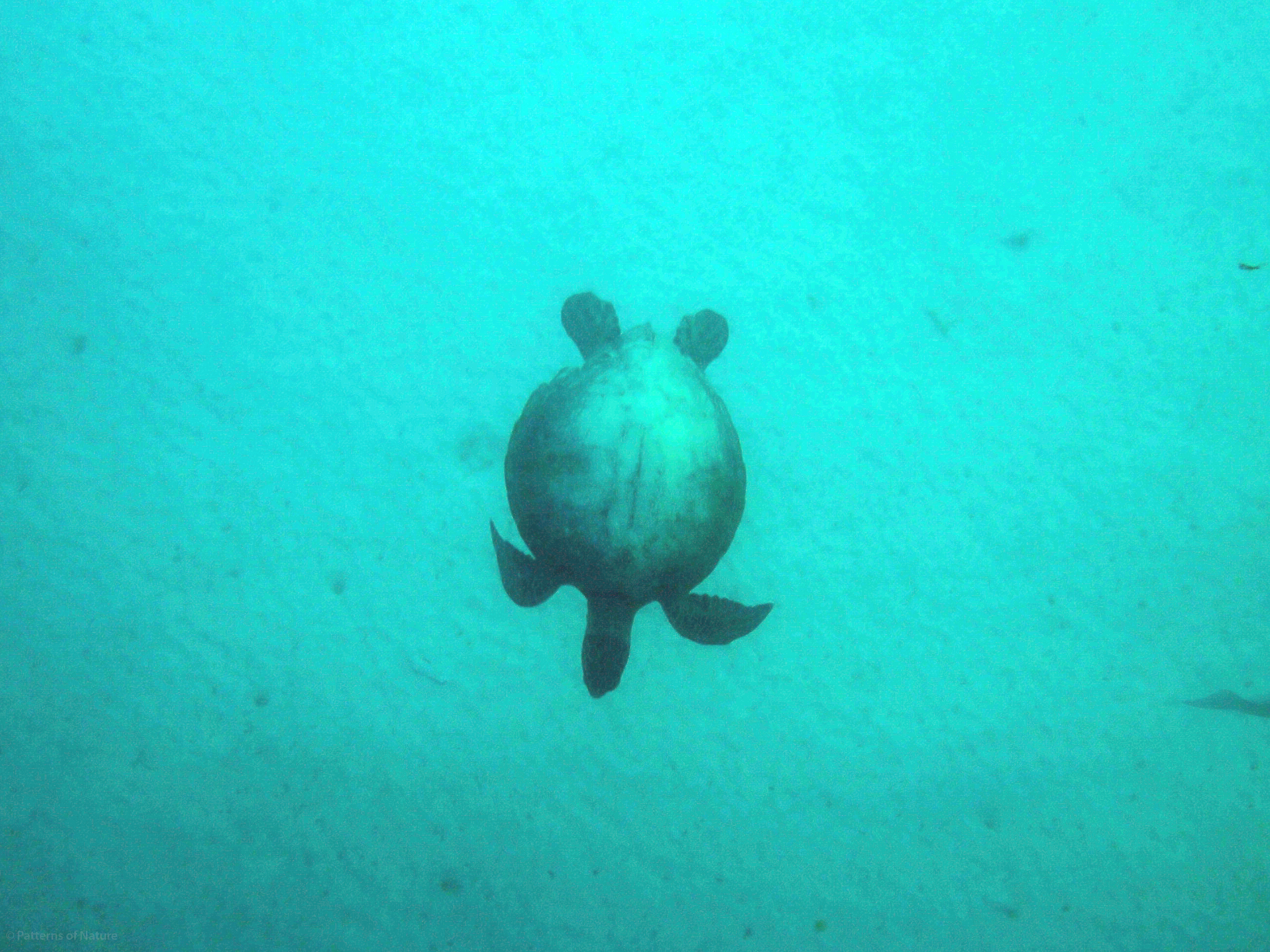 Sea turtles are also abundant in the deeper waters of the reef and the