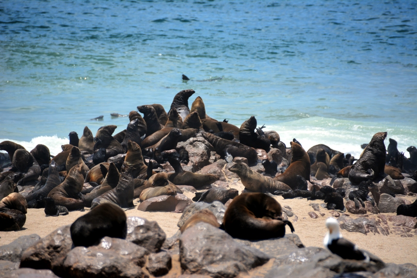 cape_cross_seal_colony_namibia_africa_cape_brown_fur_seal_atlantic_ocean_14