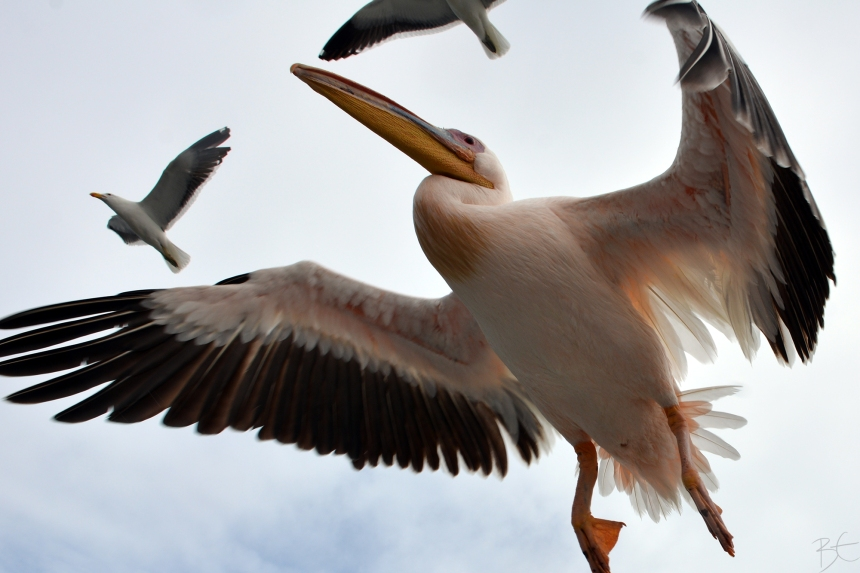 namibia_africa_walvis_bay_swakopmund_african_pelican_seagull_flying_sky