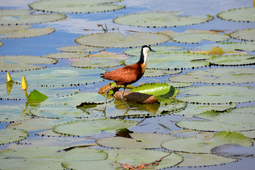chobe_national_park_river_cruise_botswana_africa_african_jacana_water_lillies
