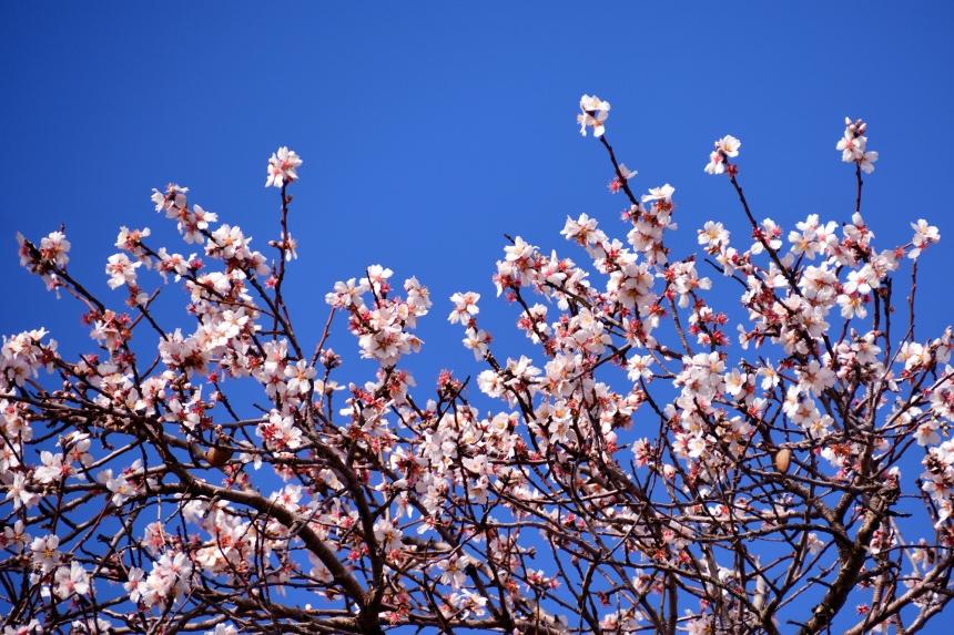cherry_blossom_flowers_spring_5