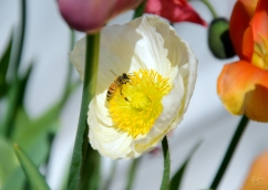 floriade_spring_canberra_flowers_orange_yellow__white_poppy_bee_pollinator